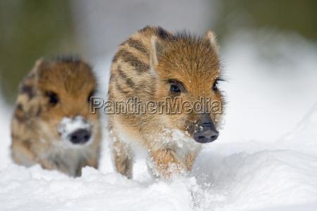 frischlinge im schnee